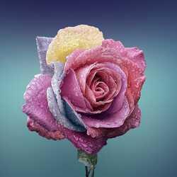 Apsveikuma e-kartiņa Mitra krāsaina roze