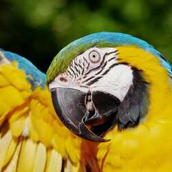 greeting e-card Parrot with an open yellow wing