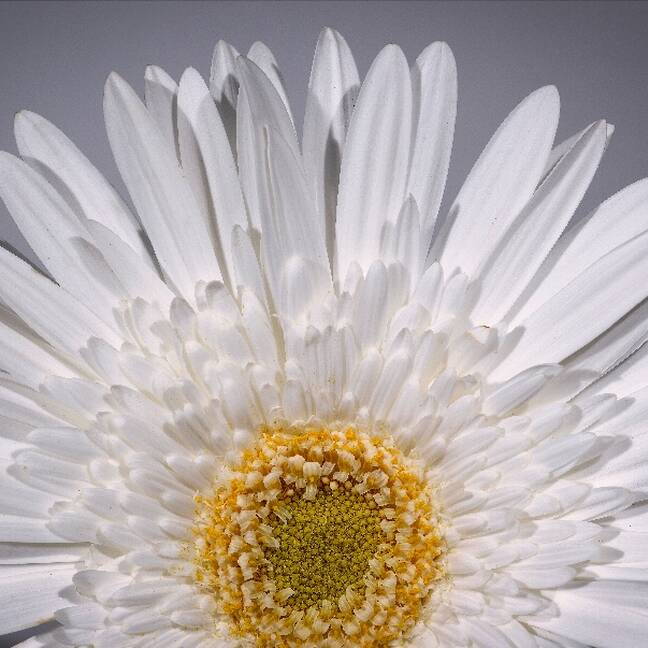 Baltas puķes tuvplāns e-kartiņa