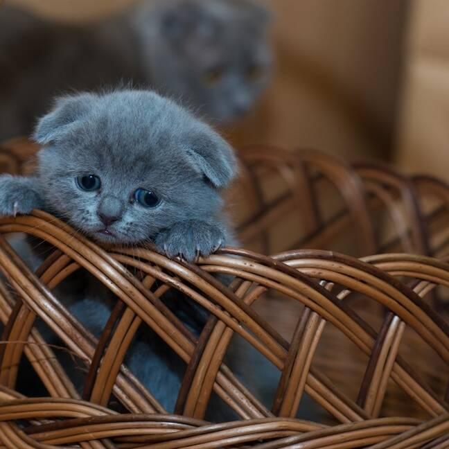 Krievu zilais kaķēns grozā e-kartiņa