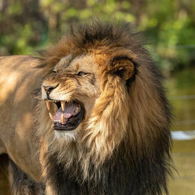 Lauva dusmīga e-kartiņa