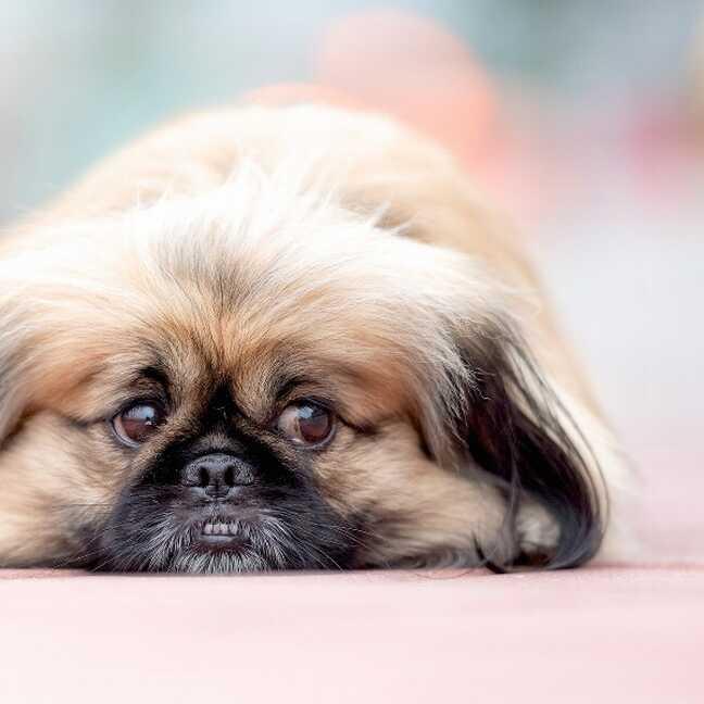 Pekinas suns uz grīdas e-kartiņa