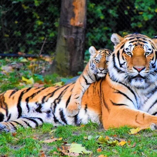 Tīgeris ar tīģerēnu uz muguras e-kartiņa