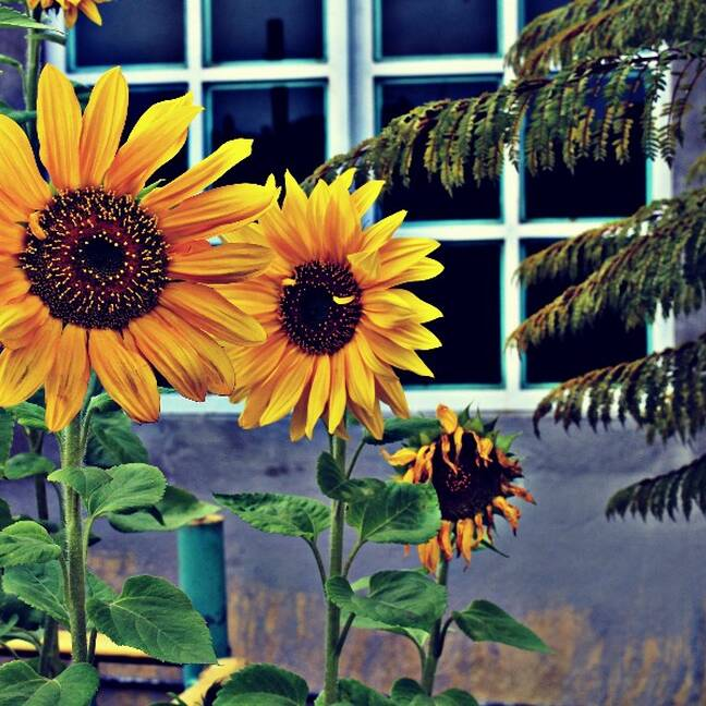 Trīs saulespuķes blakus logam e-kartiņa