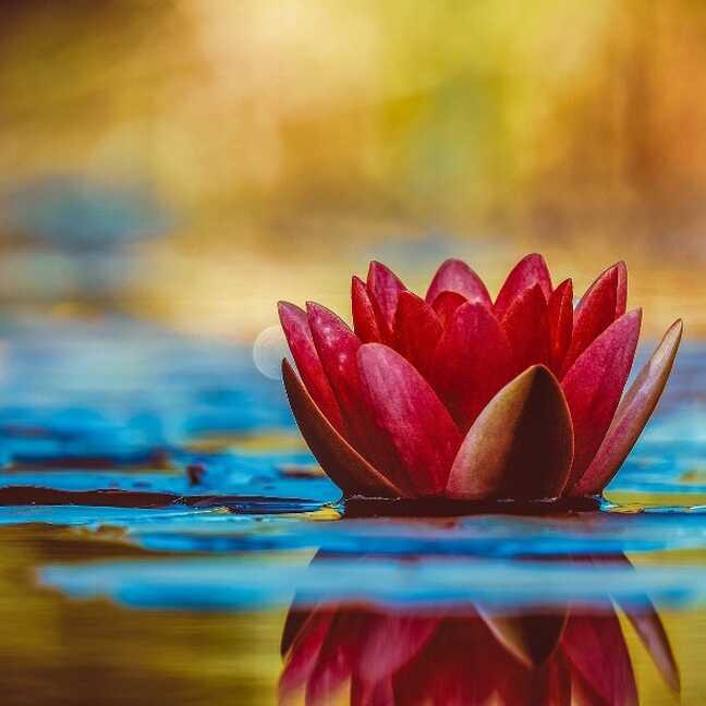 Ūdens lilija ūdensaugs zieds e-kartiņa