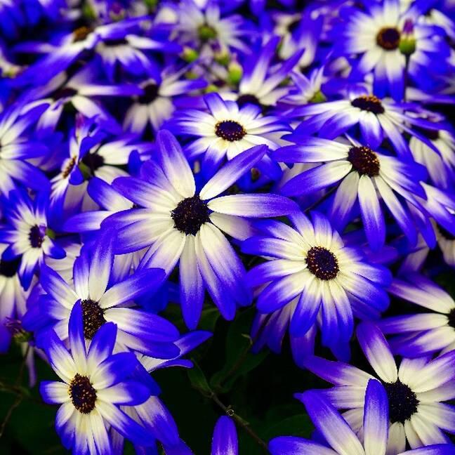 Zili baltas puķes e-kartiņa